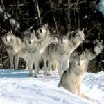 Wolf Pack Programming